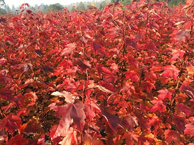 达州正宗美国红枫,美国红枫