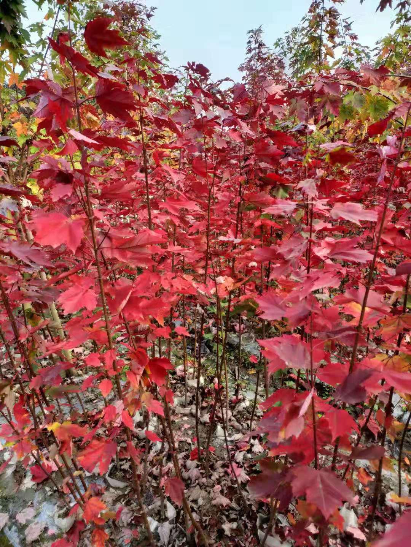 日本红枫红舞姬图片