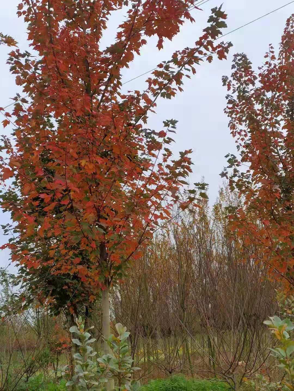 达州优质美国红枫,美国红枫