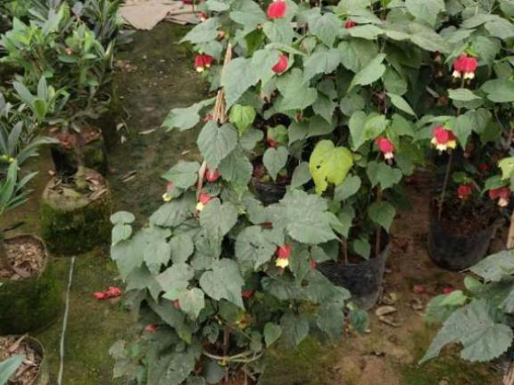 重慶血藤基地貨源 值得信賴 成都卉美園林工程供應
