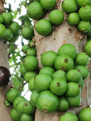 厦门沙巴树葡萄基地 服务为先 厦门耕泓农业科技供应