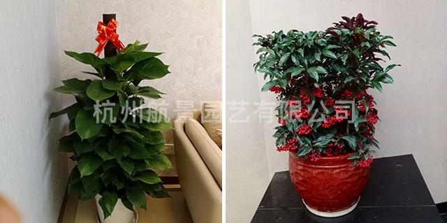 植物出租优惠 创造辉煌「杭州航景园艺供应」