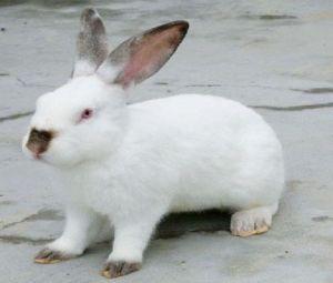 云南宠物兔伊拉兔 服务为先「济宁红阳养殖供应」