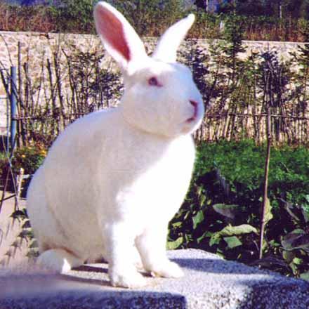 简阳市獭兔供应,獭兔