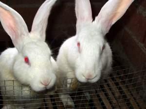 自贡獭兔多少钱一只,獭兔
