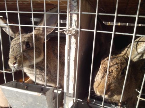 毕节比利时兔繁殖周期