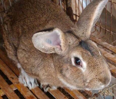 六盘水质量比利时兔 值得信赖「济宁红阳养殖供应」