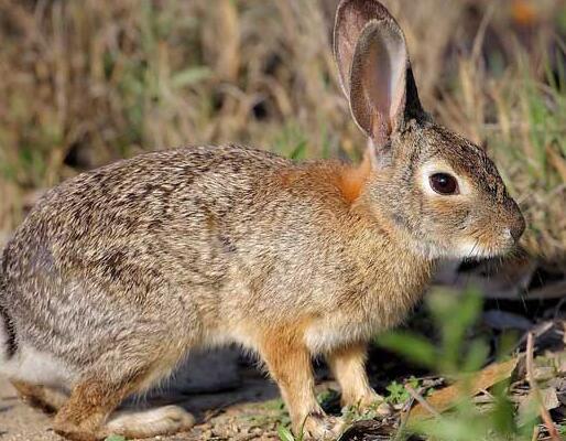 黔南州杂交野兔利润「济宁红阳养殖供应」