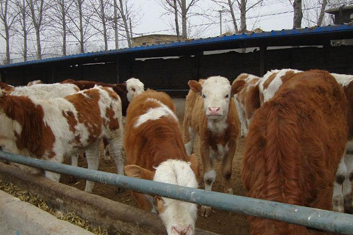 黑龙江改良西门塔尔牛优质商家 嘉祥县华盛养殖场供应