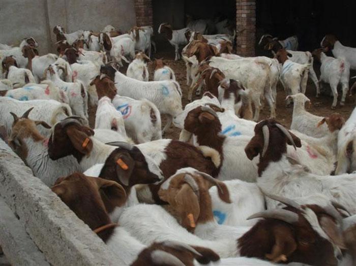 宁夏波尔山羊有哪些特点 嘉祥县华盛养殖场供应