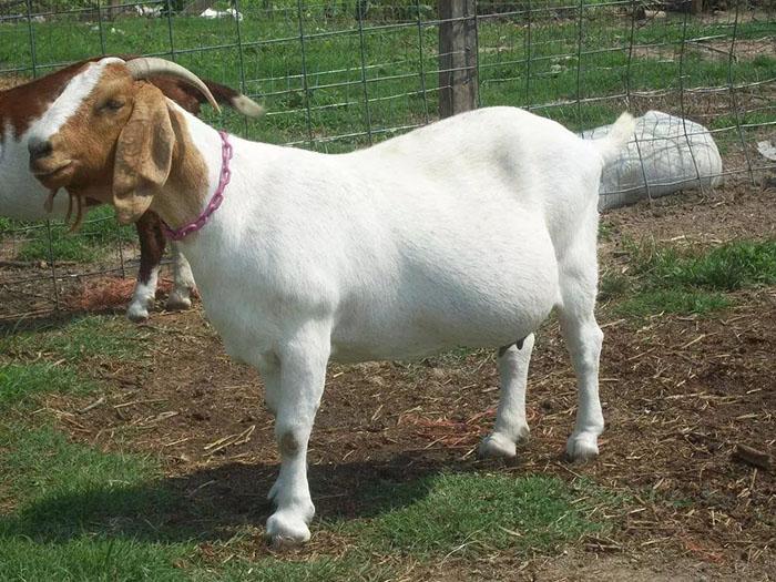 河北种羊波尔山羊羔羊 嘉祥县华盛养殖场供应
