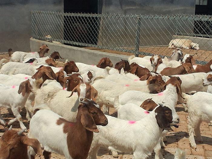 湖北纯种波尔山羊羔羊 嘉祥县华盛养殖场供应