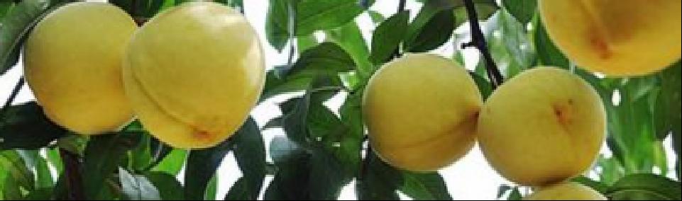丰水梨水果批发批发价 有口皆碑「上海青来果林供应」