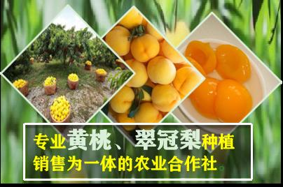 果園直發8分熟錦繡黃桃果園 誠信互利「上海青來果林供應」