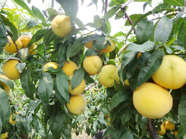 青浦区金童5号上海果园 贴心服务「上海青来果林供应」