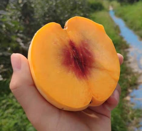 青浦區黃金王上海果園哪個好 誠信為本「上海青來果林供應」