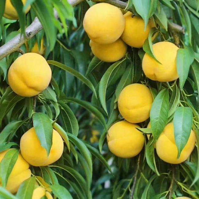 靜安區原裝無錫水蜜桃果樹苗培育 值得信賴「上海青來果林供應」