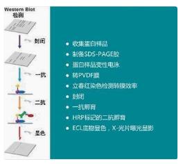 天津磷酸化蛋白Western Blot检测服务 欢迎咨询 上海朝瑞生物科技供应
