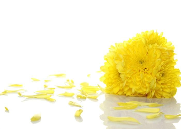 云南斗南菊花厂家 欢迎来电 云南安学鲜花供应