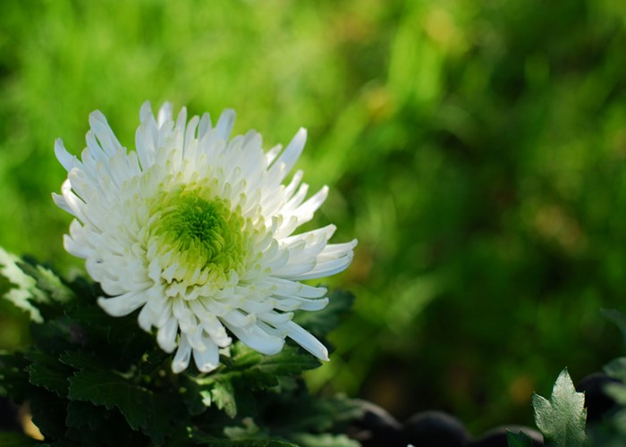 云南昆明優質菊花批發價格是多少 云南安學鮮花供應