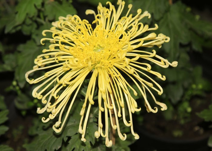 昆明斗南菊花种类和名称 来电咨询 云南昆明安学鲜花批发供应