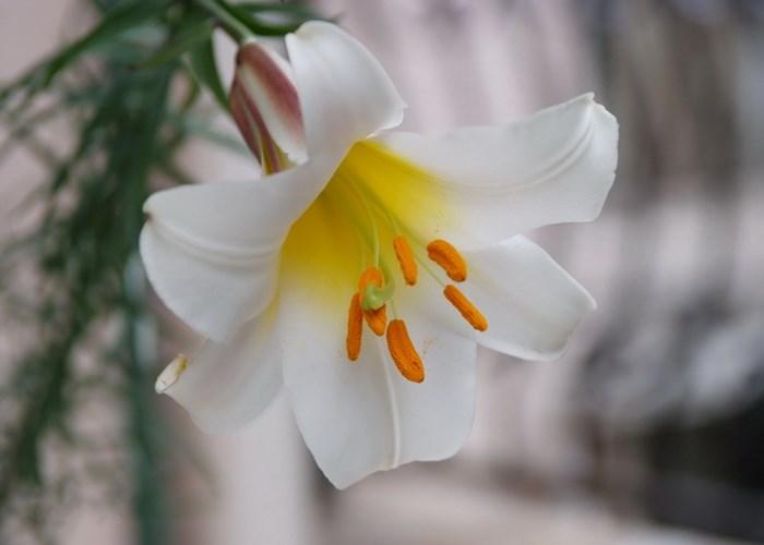 昆明进口百合花价格是多少 欢迎来电 云南安学鲜花供应