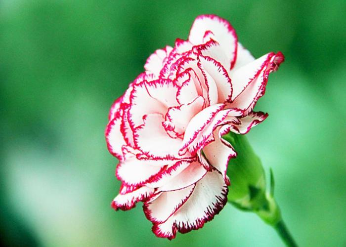 昆明康乃馨鲜花批发价格是多少 诚信服务 云南安学鲜花供应