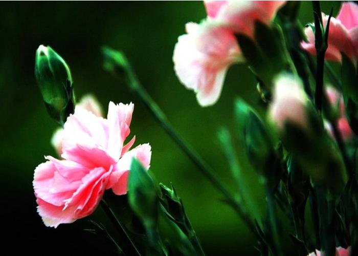 昆明康乃馨鲜花批发商铺 有口皆碑 云南安学鲜花供应