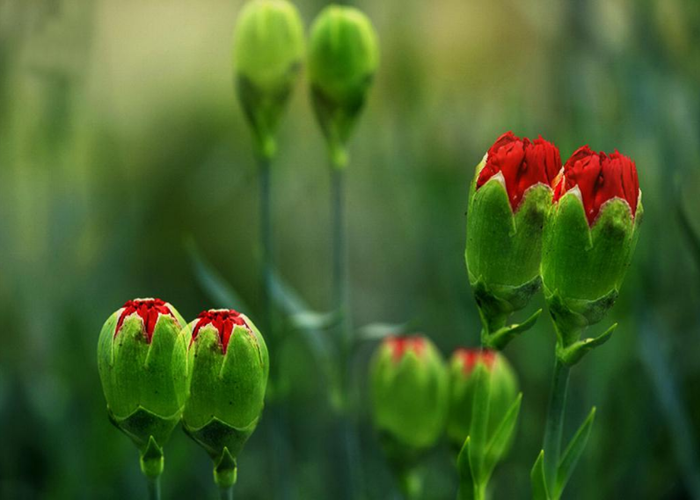 云南康乃馨鲜花批发厂家的地址 云南安学鲜花供应