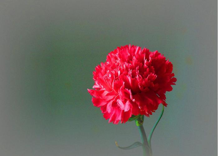云南康乃馨鲜花厂家 云南安学鲜花供应