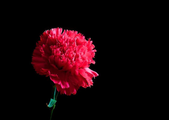 云南斗南優質康乃馨批發的廠家 云南安學鮮花供應
