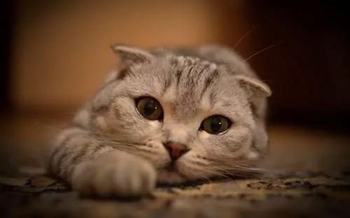 黄陂区好的猫瘟要多少钱 欢迎咨询「武汉市洪山区寻宠记动物供应」