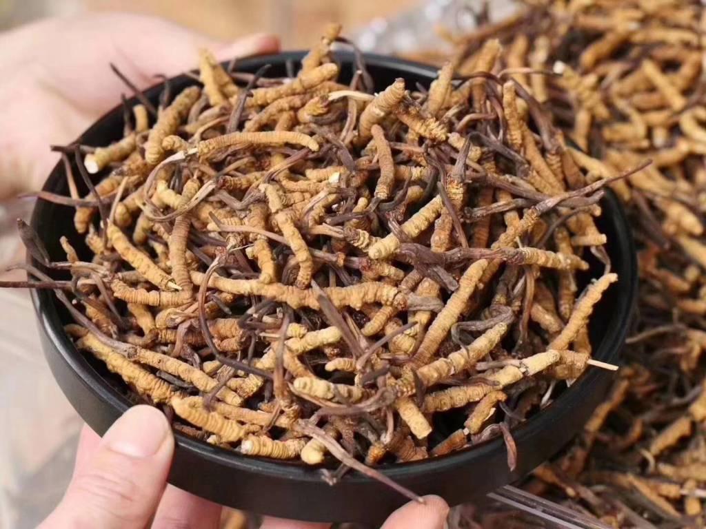 阿里地区虫草素虫草有哪些品牌,虫草