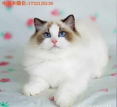 布偶猫猫舍