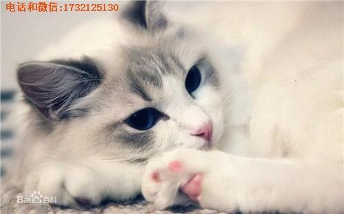 上海布偶猫