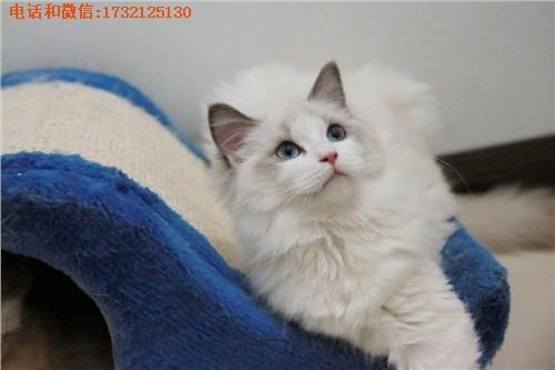 嘉定布偶猫