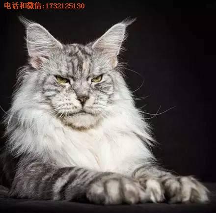 缅因猫猫舍