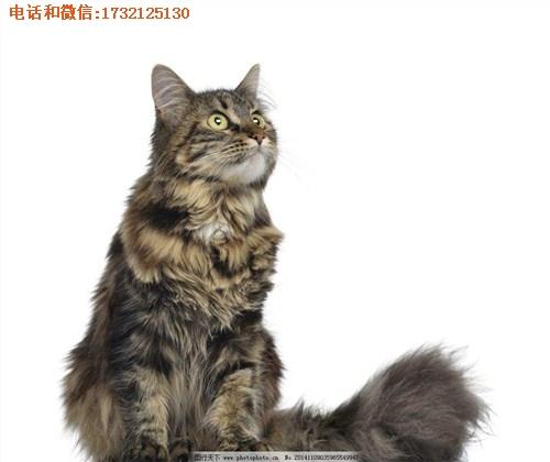 纯种缅因猫