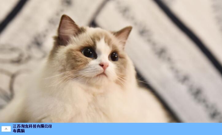 靜安區布偶貓吧,布偶貓