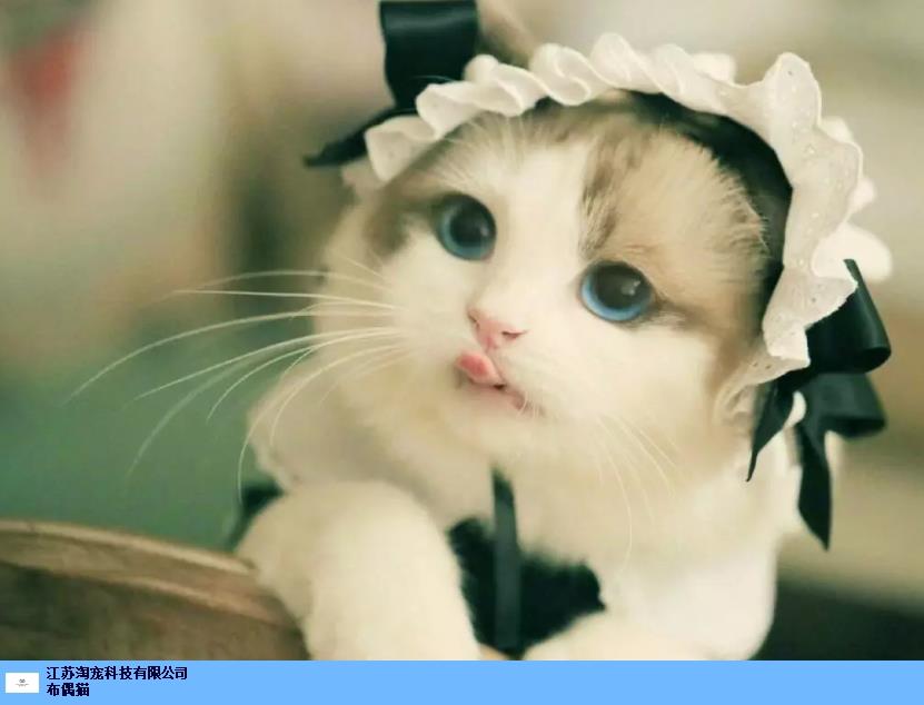 泰州双色布偶猫怎么养 江苏淘宠科技供应