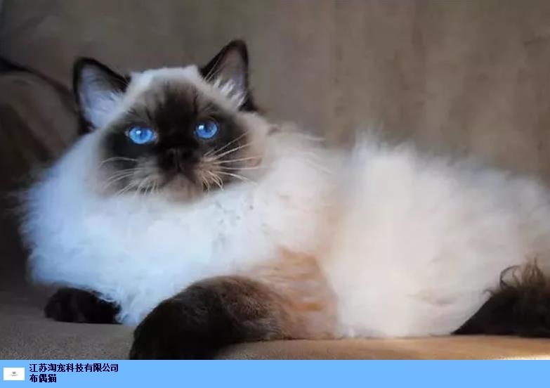 扬州布偶猫吃什么 江苏淘宠科技供应