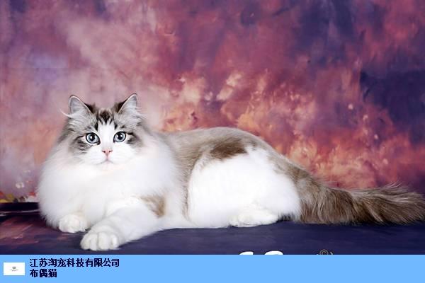 泰州布偶猫 创新服务 江苏淘宠科技供应