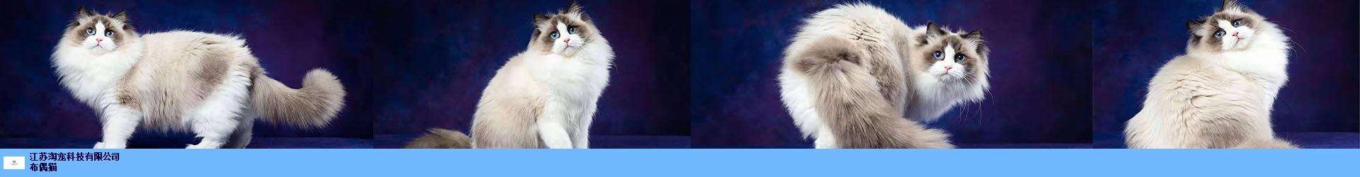 苏州双色布偶猫 抱诚守真 江苏淘宠科技供应