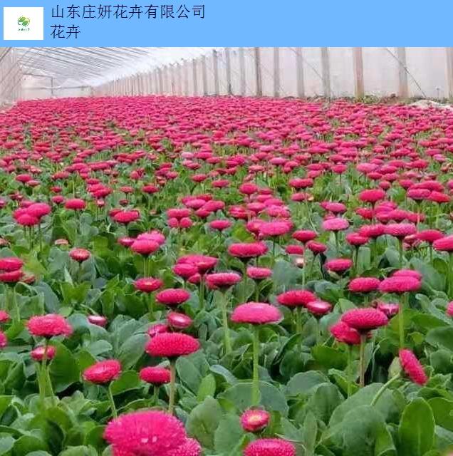 青岛时令草花价格,草花