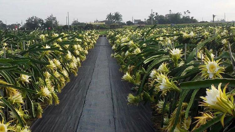 江西白水晶火龍果種植 歡迎來電「廣州市增城大鄉里果樹種植供應」