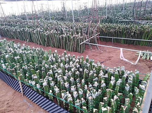 厦门火龙果种植方法 服务为先 厦门耕泓农业科技供应