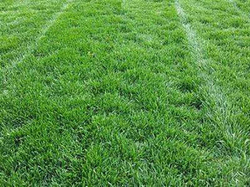 泸州马尼拉草坪种植