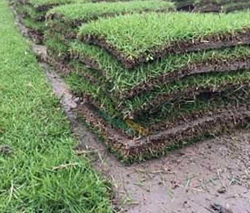廣安高羊茅草皮 抱誠守真「成都悠時光園藝種植供應」