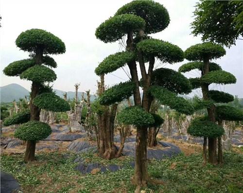 京山优质对节白蜡景观树要多少钱 铸造辉煌「鑫宝盛供应」