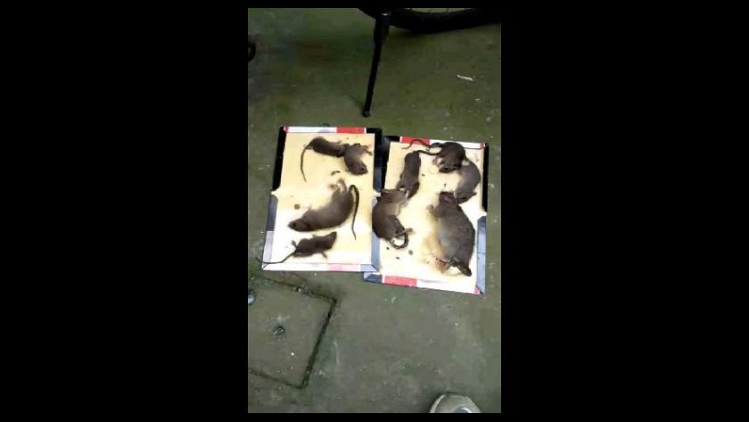 上海本地灭鼠治理公司,灭鼠